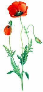 Common_Poppy